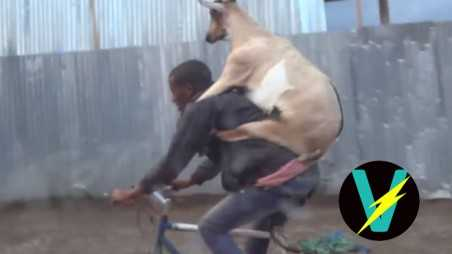 Goat Riding Man riding bike video
