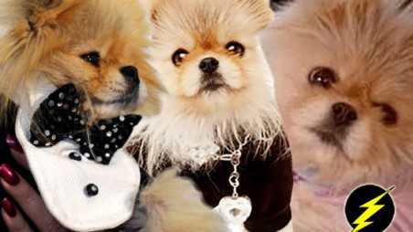 Lisa Vanderpump dog giggi photos twitter pomeranian celeb pooches