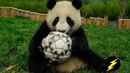 world cup panda predictors retired banned photos