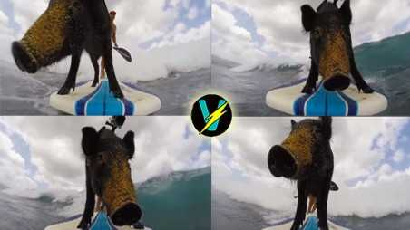 Surfing pig video Kama go pro storm