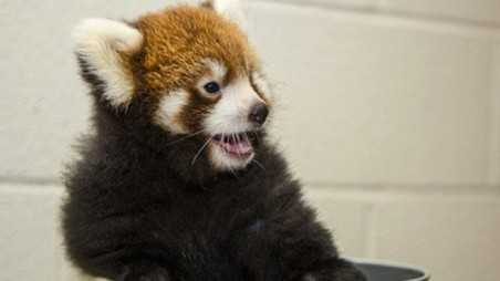 baby red panda nashville zoo debut born captivity ridiculously cute