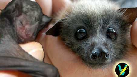 lil drac short tailed fruit bat video orphaned texas sanctuary