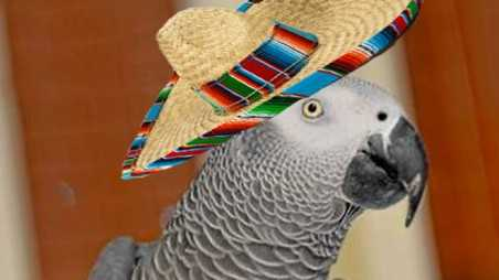 missing parrot comes home speaking spanish