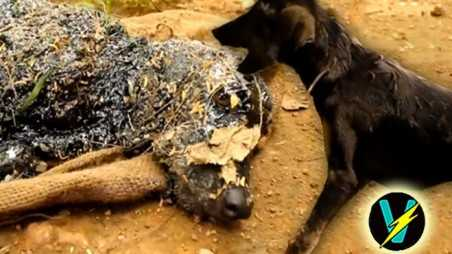 puppy hot tar rescue video india animal rights aid