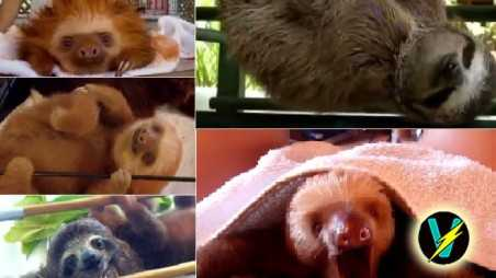cutest sloth video ever