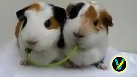 guinea pigs eating video